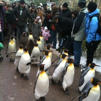 penguin parade at the zoo