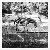 Zebra Time