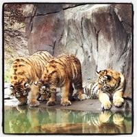 mini tigers.