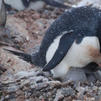 adelie penguin with a little chick